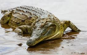 Photo of a crocodile laying in wet sand