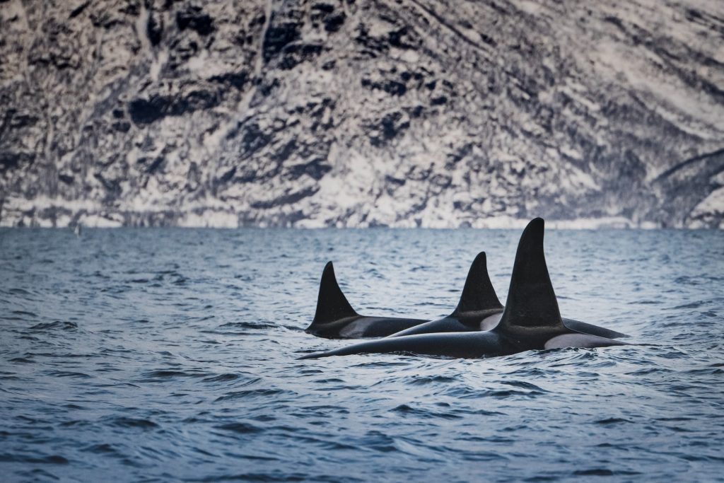 killer whale fins above ocean water