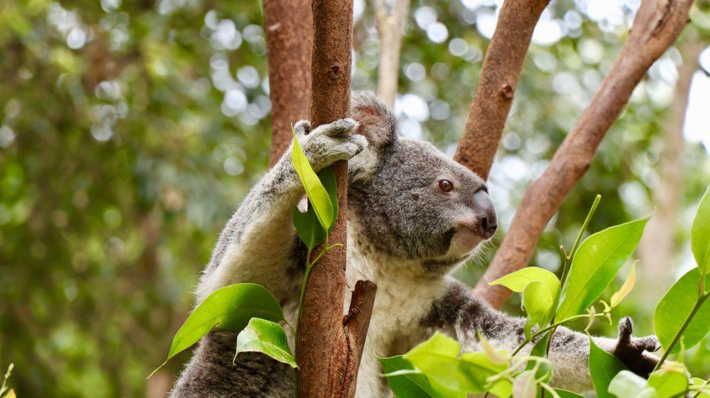 A koala bear sitting in a tree grabbing a branch