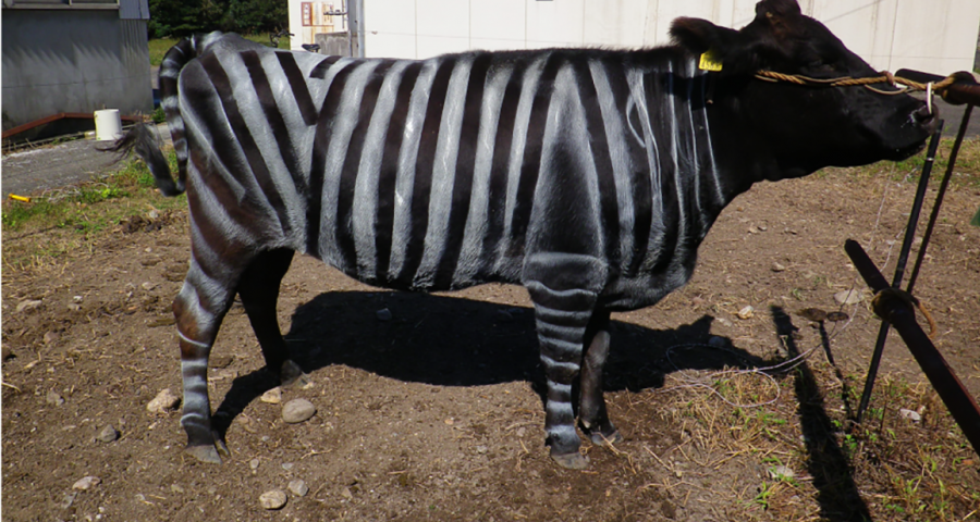 A black cow painted with vertical black and white stripes in a zebra pattern