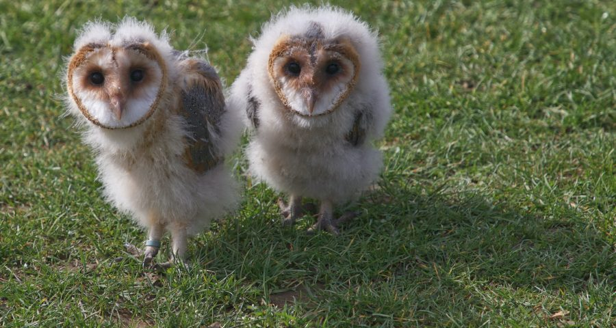 Two nine-weeks old owls in a field of grass