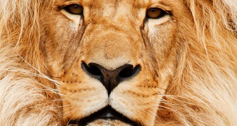 A lion stares directly into the camera, its mane filling the entire image