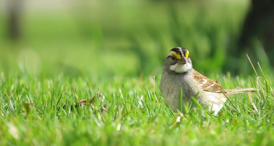 A white-throated sparrow standing in grass