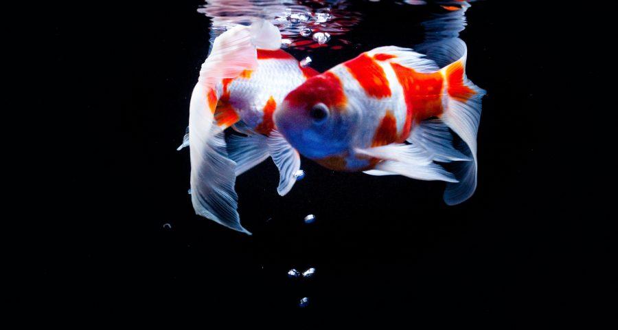Two fish swimming in tank