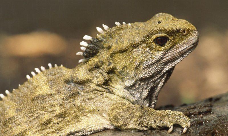 Tuatara (kind of reptile)