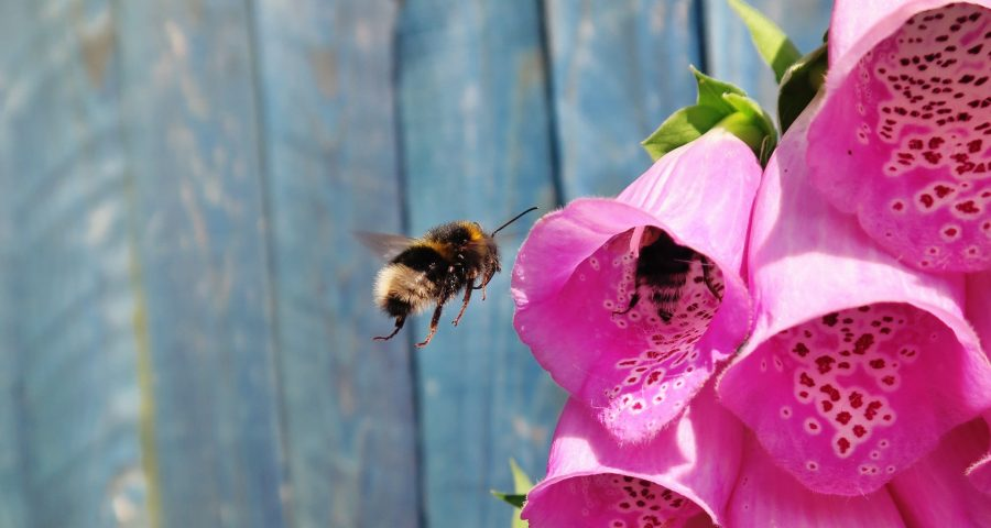 Bumblebee in a pink flower with a fence behind