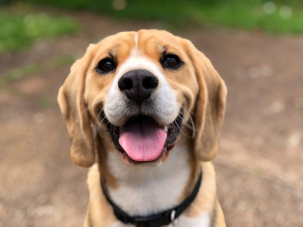 Dog smiling looking at the camera