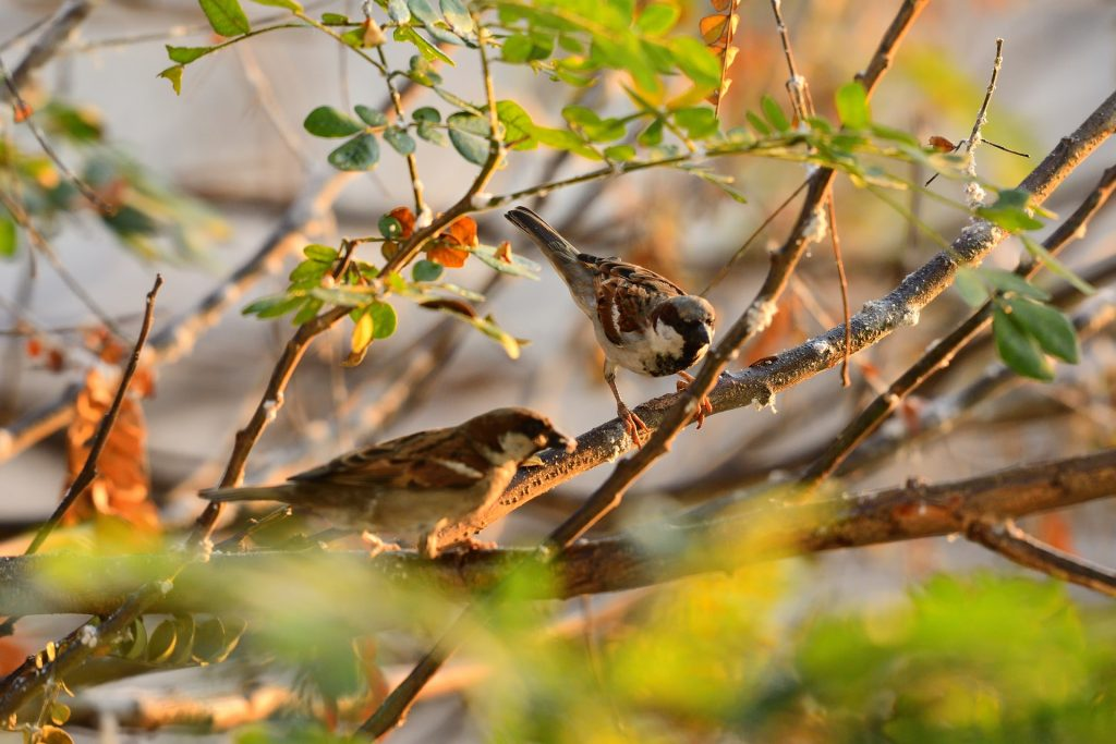 Two Sparrows at sunrise