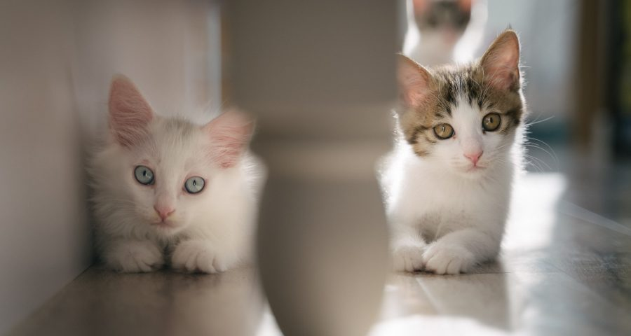Two cats, one with blue eyes and other with green eyes, looking at the camera