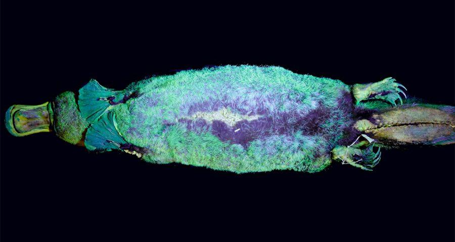 Fluorescent platypus seen under UV light