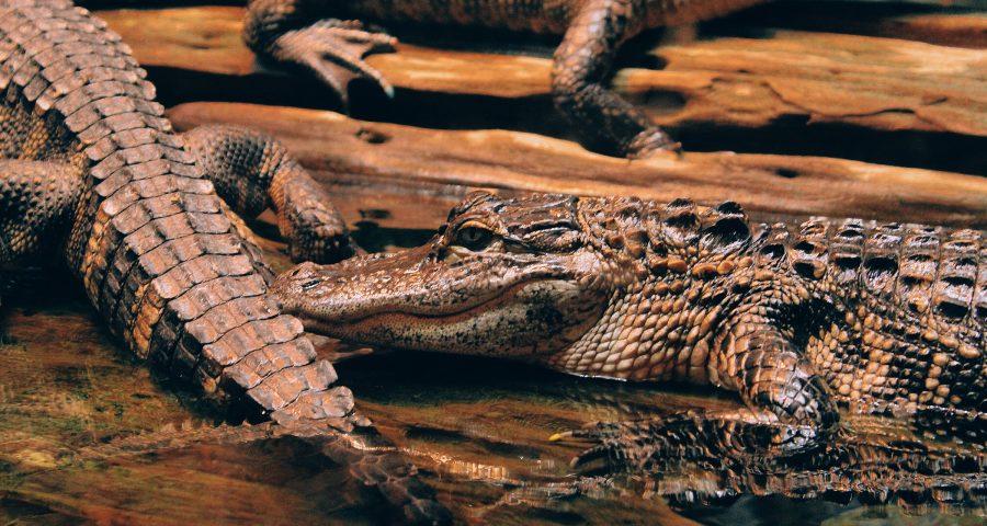 Two alligators: left side alligator showing its tail and right side alligator showing its head