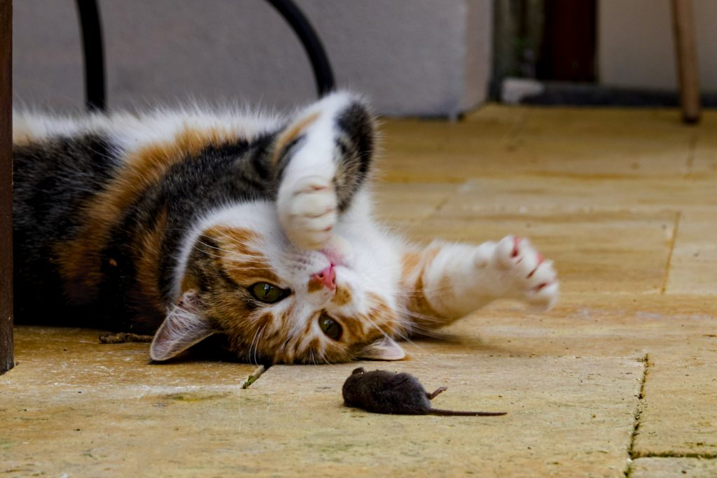Cat with a mouse as a prey next to it