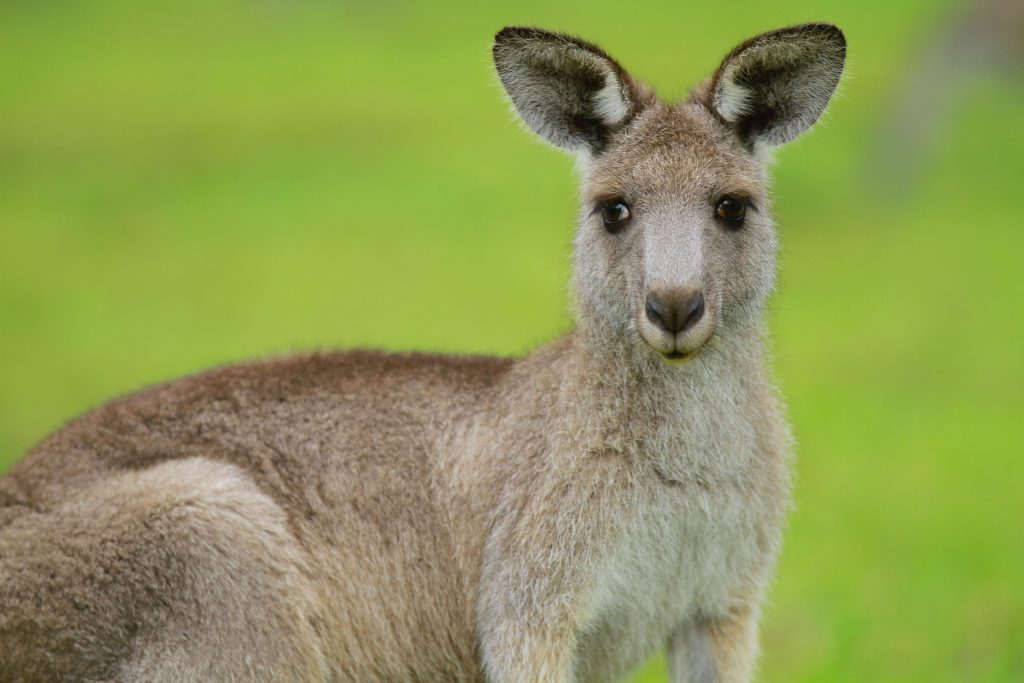 Brown kangaroo looking at the camera on a grass field during day time