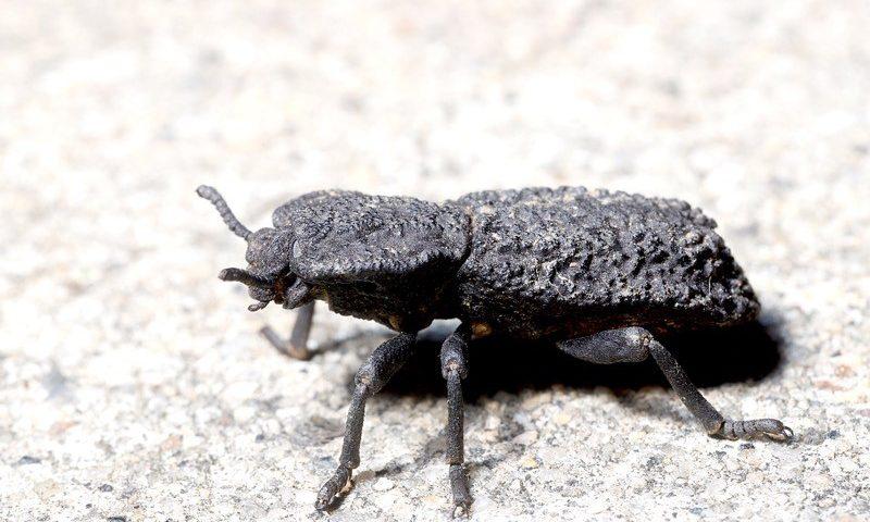 The diabolical ironclad beetle (Phloeodes diabolicus)