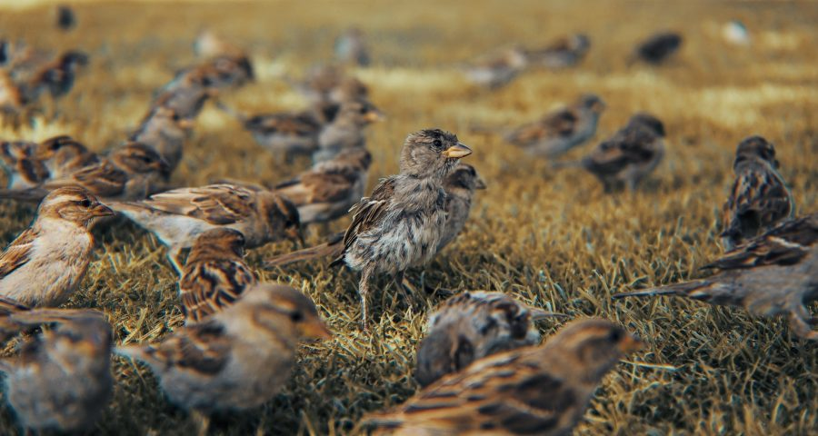 Lots of small sparrows running on the ground.