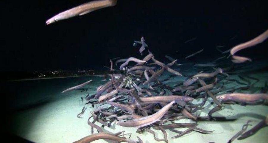 Swarm of eels found in the abyssal deep sea.