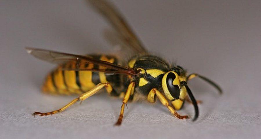 Korean yellow-jacket wasp.