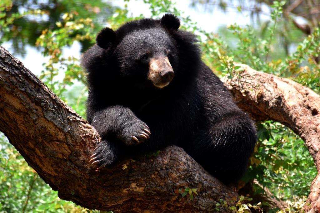 Image of black bear (Ursus thibetanus)