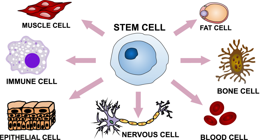Schematic shows how stem cells can differentiate into other types of cells.