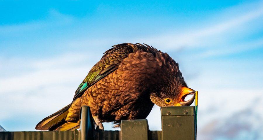 Bird with its head upside.