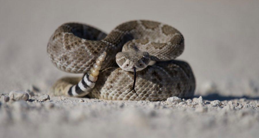 Image of rattlesnake.