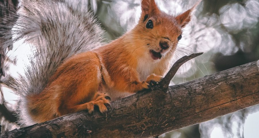 Photo of red squirrel in tree.