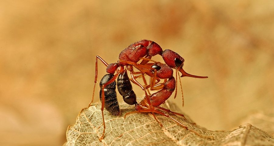 This image reveals a worker jumping ant Harpegnathos saltator murdering the queen. The queen had just torn off her own wings after a successful mating and was scouring the forest floor in search for a suitable nest site.