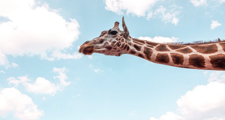 Photo of giraffe neck with open sky background.