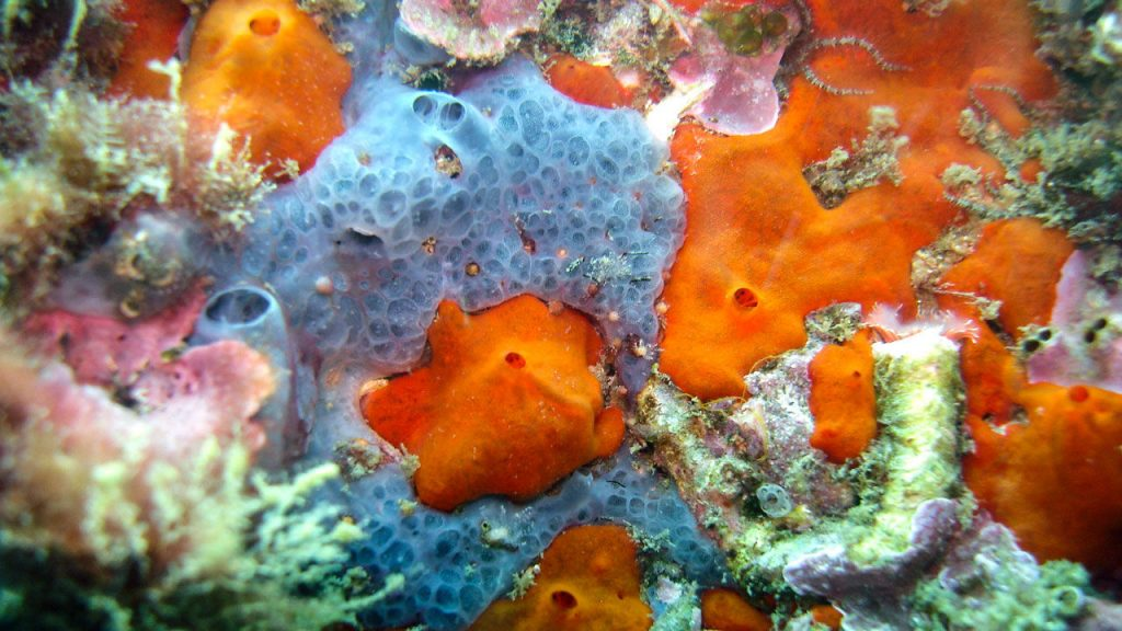 As these sponges filter water for food, they collect DNA that can be used for biodiversity surveys. A. RIESGO