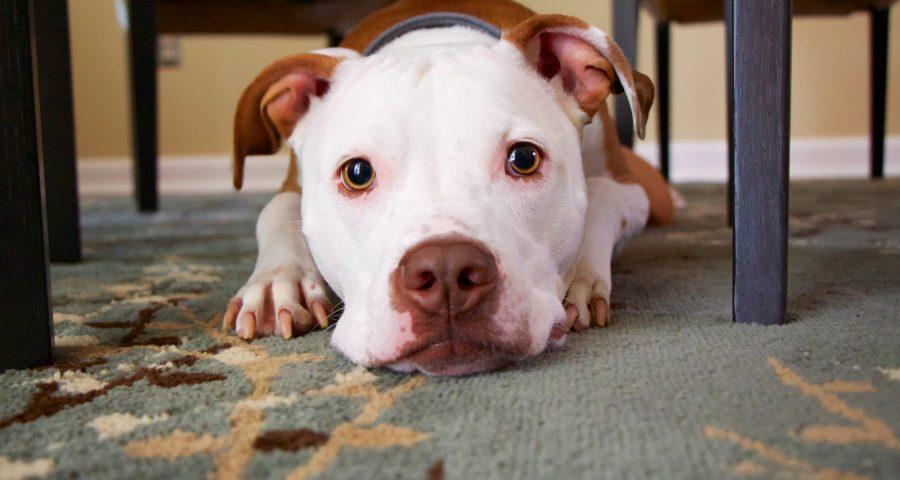 Dog underneath table