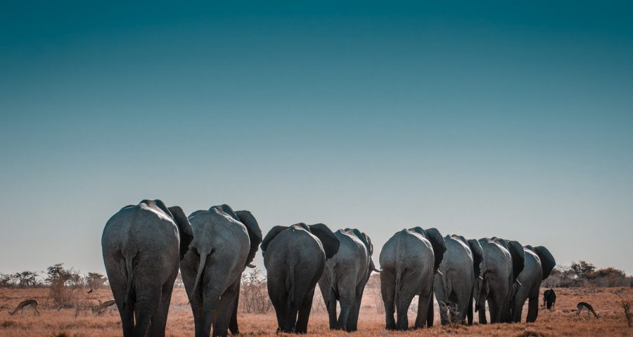 Images of elephants walking