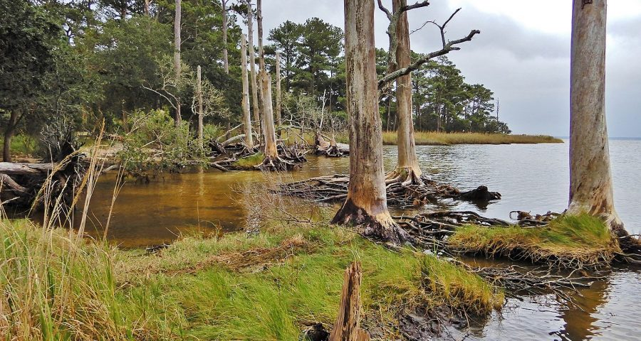Image of dying wetland forest. NC Wetlands via Wikicommons under (CC BY 2.0